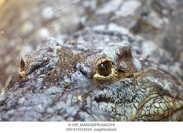 Big Crocodile Eye on blured background