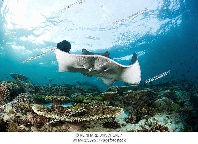 Blackspotted Stingray, Taeniura meyeni, Ellaidhoo House Reef, North Ari Atoll, Maldives