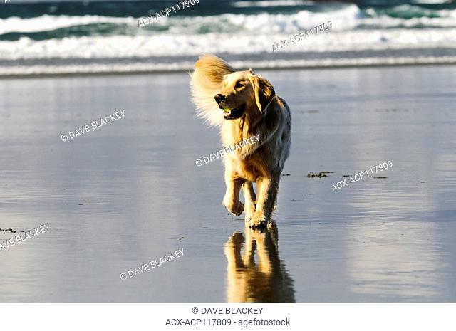 A Golden Retriever with a ball in his mouth running on Chesterman Beach, near Tofino, British Columbia