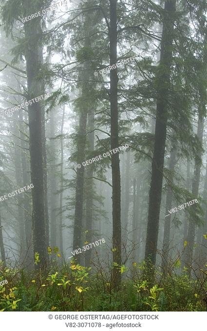 Forest trunks in fog, Cape Lookout State Park, Oregon