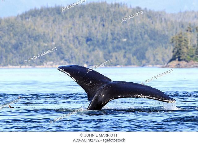 Humpback Whale near Telegraph Cove, BC, Canada