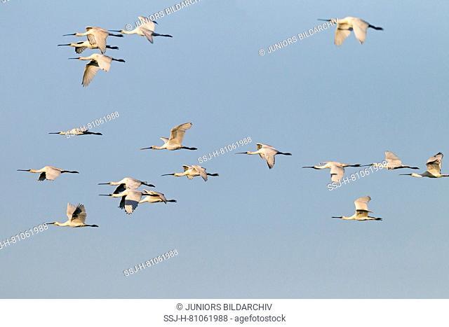 White Spoonbill ( Platalea leucorodia) , flock in flight