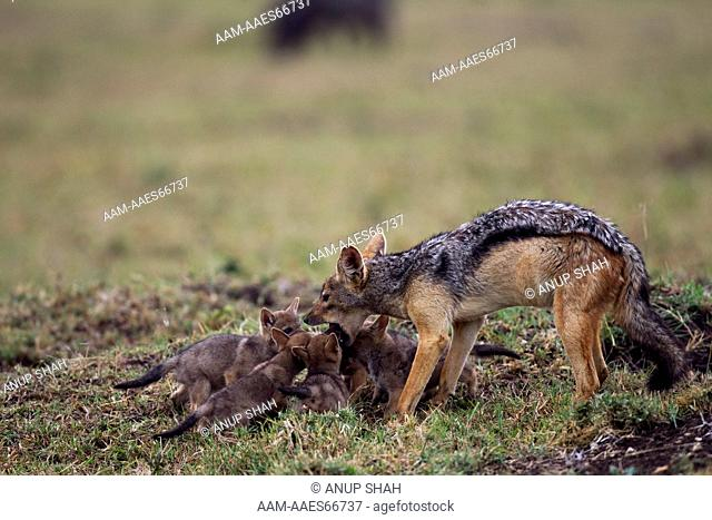 Black-backed jackal male regurgitating food for two week old pups (Canis mesomelas). Maasai Mara National Reserve, Kenya. Aug 2011