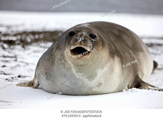 juvenile 2 year old elephant seal calling hannah point livingstone island Antarctica