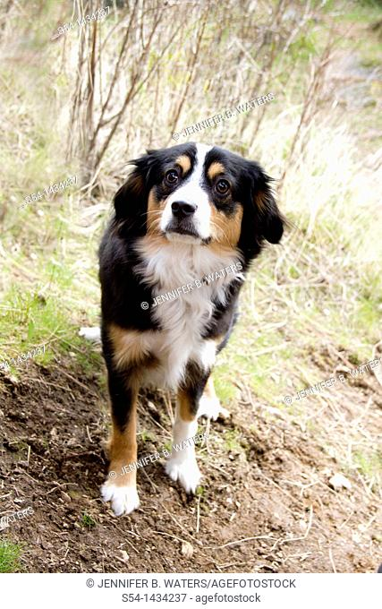 Miniature Australian Shepherd dog outdoors