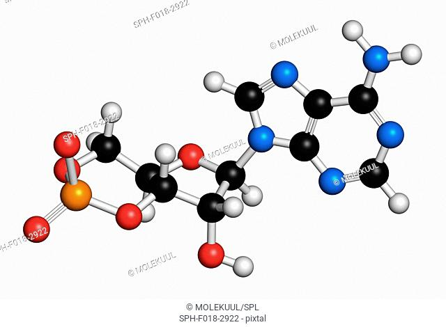 Cyclic adenosine monophosphate (cAMP) second messenger molecule. Atoms are represented as spheres with conventional colour coding: hydrogen (white)