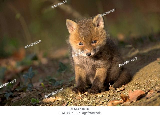 red fox (Vulpes vulpes), fox cub portrait, Germany
