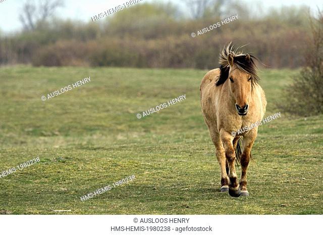 France, Somme, Baie de Somme, Henson horse (Equus caballus)