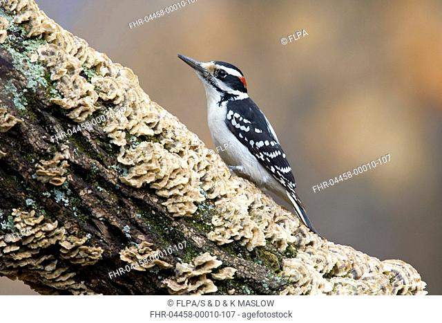 Hairy Woodpecker Picoides villosus adult male, perched on maple branch with fungi, U S A