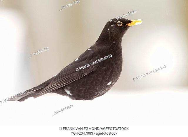 Blackbird in the Snow (Turdus merula)