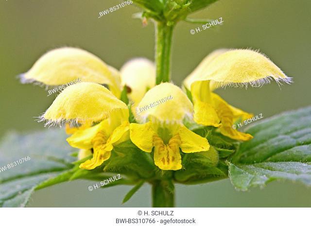 yellow dead-nettle (Lamium galeobdolon), whorl of flowers, Germany, Schleswig-Holstein