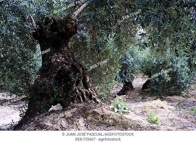 Olive trees. Jaen province, Andalucia, Spain