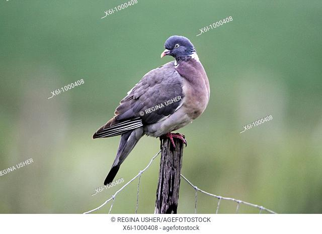Wood Pigeon Columba palumbus, perched on fence post, Germany