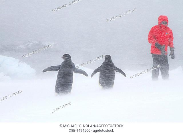 Adélie penguin Pygoscelis adeliae with Lindblad guests in snowstorm at Brown Bluff on the Antarctic Peninsula in the Weddell Sea