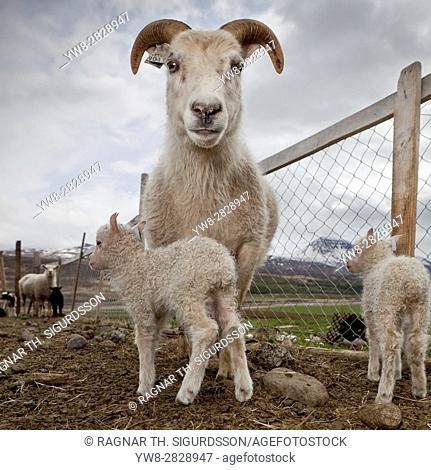 Ewe and newborn lambs, Iceland