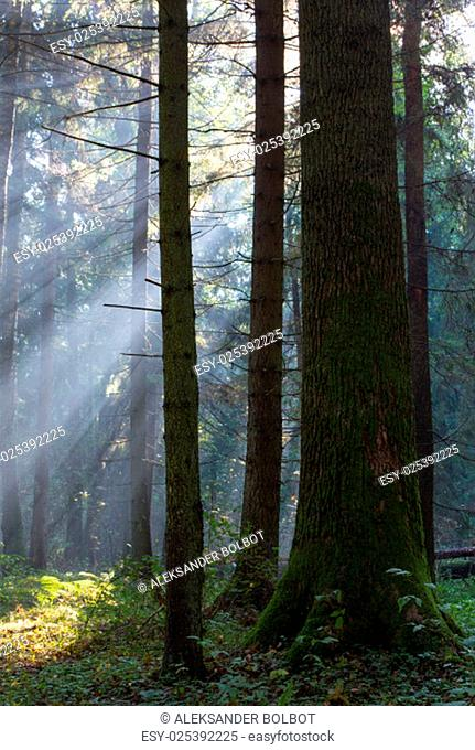 sunbeam entering rich mixed forest in the morning with broken old oak tree in foreground,bialowieza forest,poland,europe