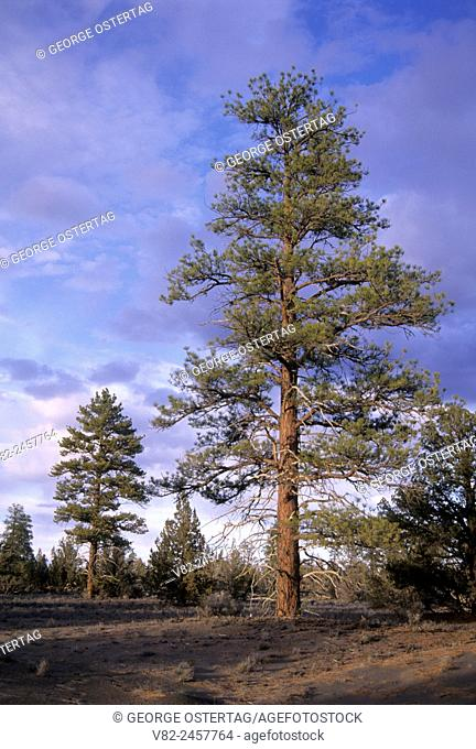 Ponderosa pine (Pinus ponderosa), Lost Forest Research Natural Area, Christmas Valley National Back Country Byway, Oregon