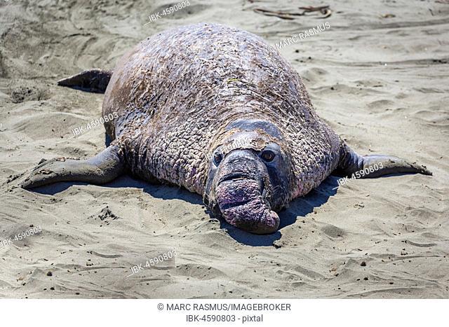Old Northern Elephant Seal (Mirounga angustirostris) is in the sand, near San Simeon, California, USA