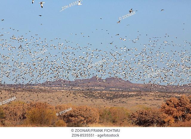 Schneegaense Bosque del Apache National Wildlife Refuge New Mexico