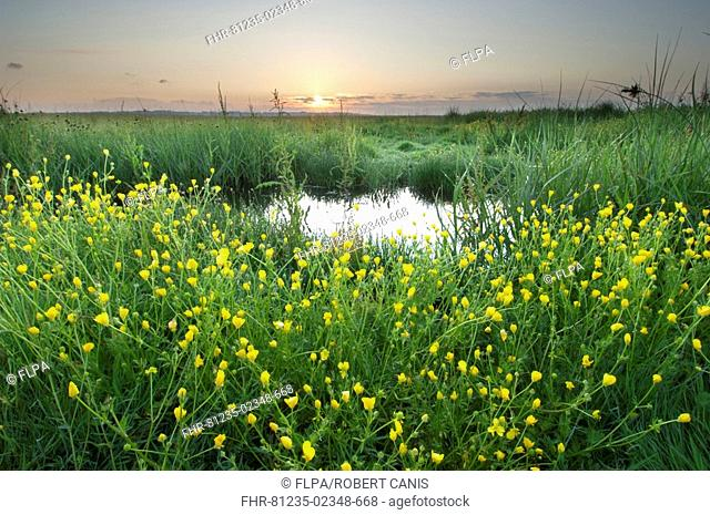 Buttercup Ranunculus sp flowering, growing in grazing marsh habitat at sunrise, Elmley Marshes, Isle of Sheppey, Kent, England, summer
