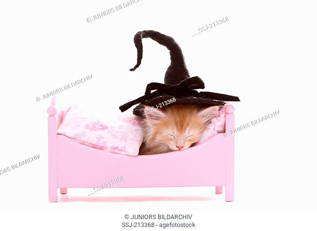 American Longhair, Maine Coon. Kitten (6 weeks old) sleeping in a pink dolls bed, wearing a witch hat. Studio picture against a white background