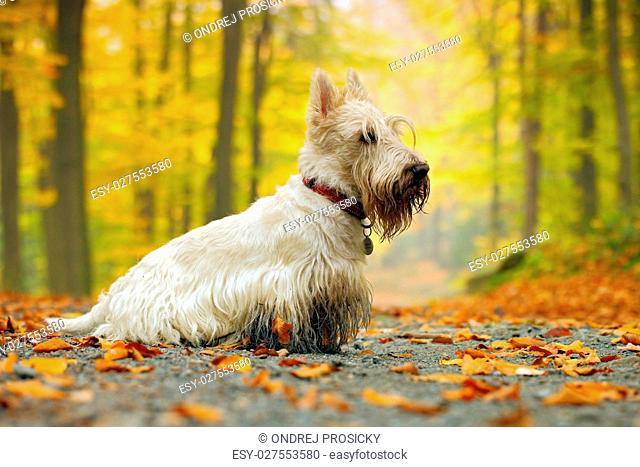 White ,wheaten) scottish terrier
