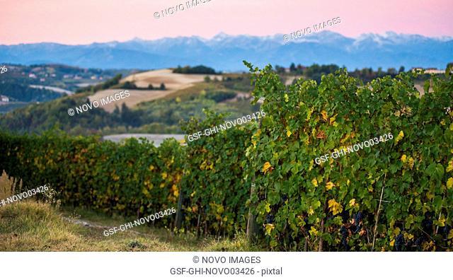Vineyards and Mountain Landscape at Sunrise, Dogliani, Piedmont, Italy