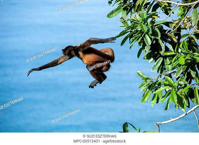 Black-handed Spider Monkey (Ateles geoffroyi) leaping from tree, Osa Peninsula, Costa Rica