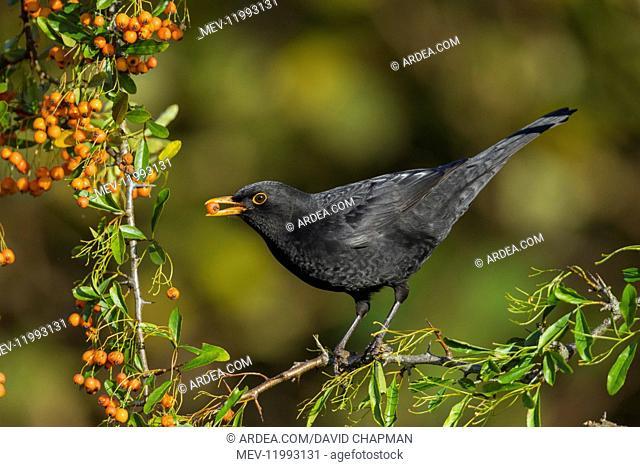 Blackbird - on Pyracantha Eating Berries - Cornwall - UK