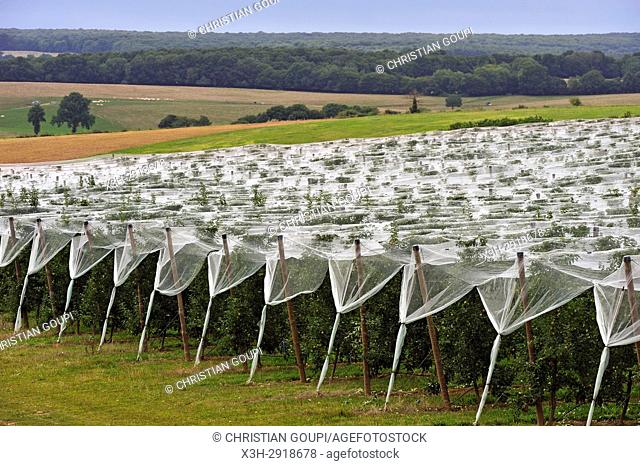 apple orchard protected by net, near Bourges, Cher department, Centre-Val-de-Loire region, France, Europe