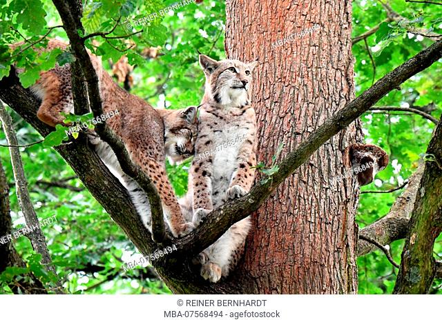 Lynxes, forest