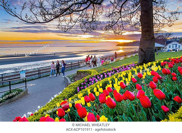 Colourful Spring bulbs along the seawall, Semiahmoo Bay, White Rock, British Columbia, Canada