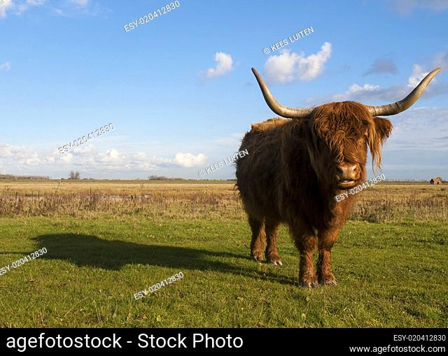 Highland Cow looking in the lens of the camera