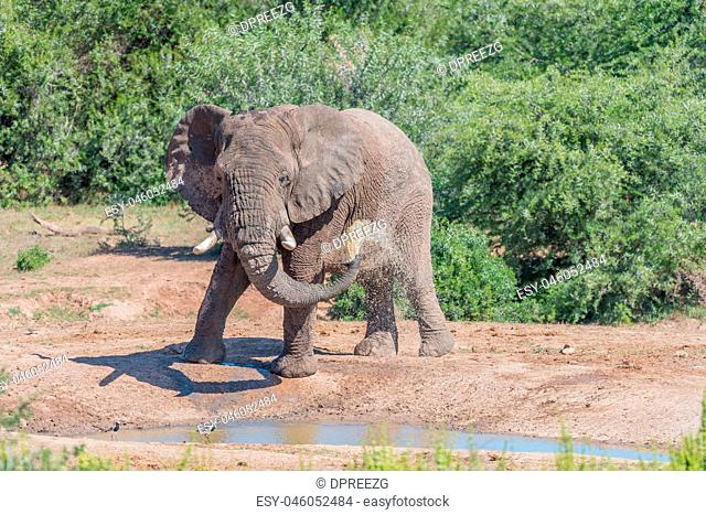 Young African Elephant taking mud bath