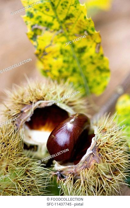 Chestnuts on a sprig with leaves