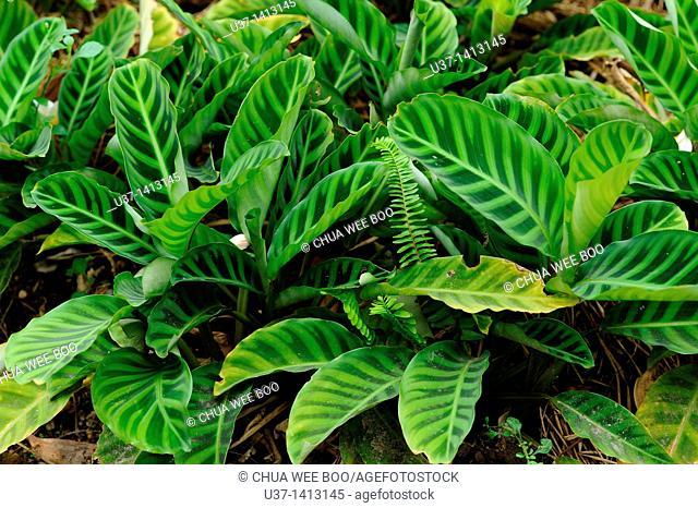 Leaves, Caladium