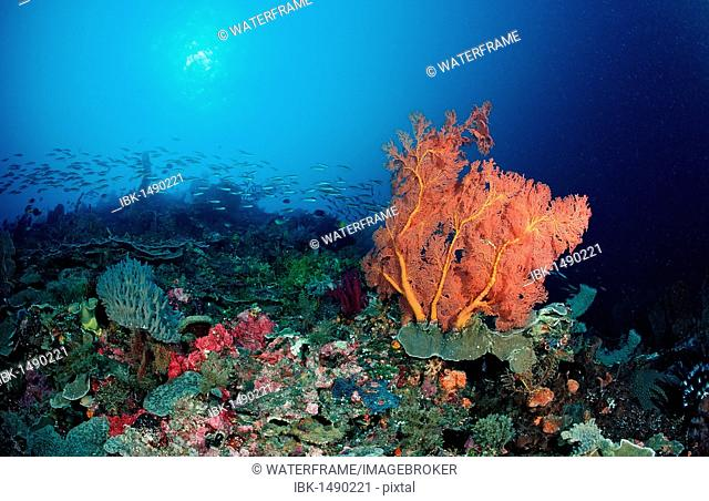Coral reef with Sea Fan (Gorgonaria sp.), Komodo National Park, Indian Ocean, Indonesia