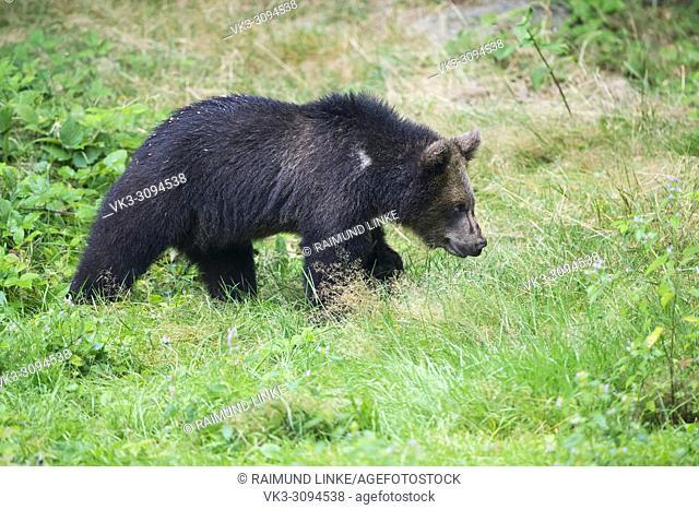 European Brown Bears, Ursus arctos, Cub, Bavaria, Germany