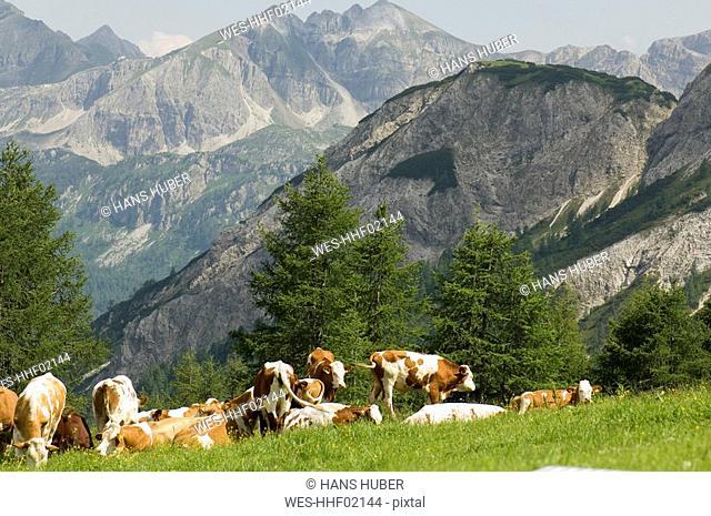 Austria, Salzburger Land, Herd of cattle grazing in a field