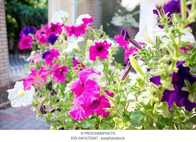 Field of cosmos flower, happy, joy peace romance