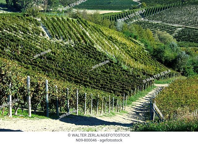 Vineyards, Barolo, Province of Cuneo, Piedmont, Italy