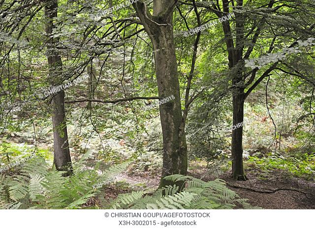 beech tree grove in the Forest of Rambouillet, Haute Vallee de Chevreuse Regional Natural Park, Department of Yvelines, Ile de France Region, France, Europe