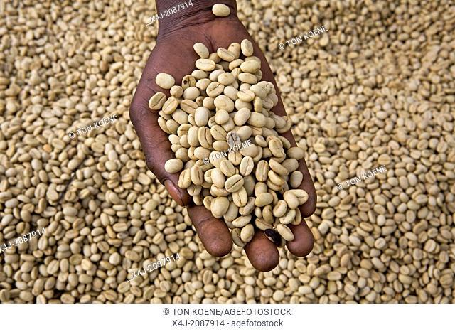 coffee production in Kenya