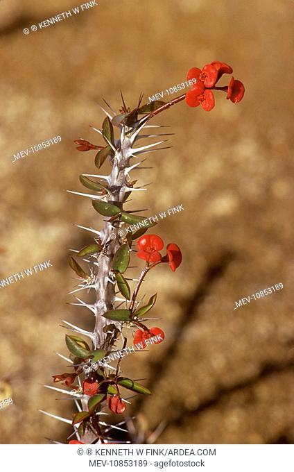 CROWN-OF-THORNS (Euphorbia milii). Madagascar