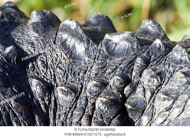 American Alligator, Alligator mississppiensis, skin
