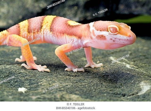 Leopard gecko (Eublepharis macularius), breed Albino Tremper on a stone
