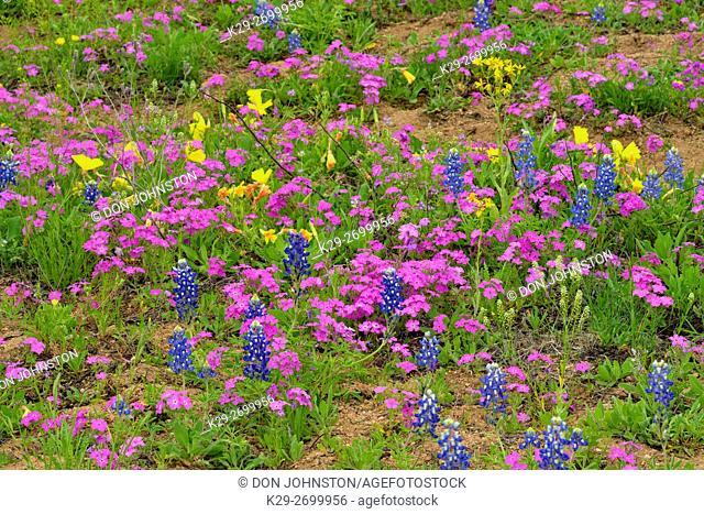 Phlox, primrose and bluebonnets in bloom, Willow City Loop, Gillespie County, Texas, USA