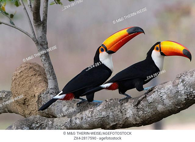 Couple of Toco Toucan (Ramphastos toco), Pantanal, Mato Grosso, Brazil