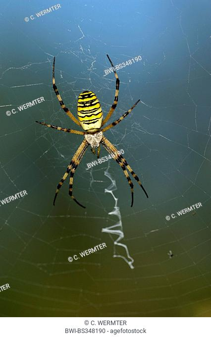 black-and-yellow argiope, black-and-yellow garden spider (Argiope bruennichi), sitting in its net, with stabilimentum, Germany, Bavaria
