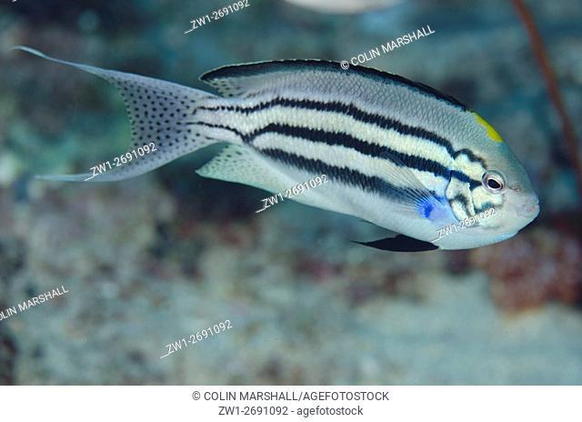 Blackstriped Angelfish (Genicanthus lamarck), Boo Rocks dive site, Boo Island, Misool, Raja Ampat (4 Kings), West Papua, Indonesia